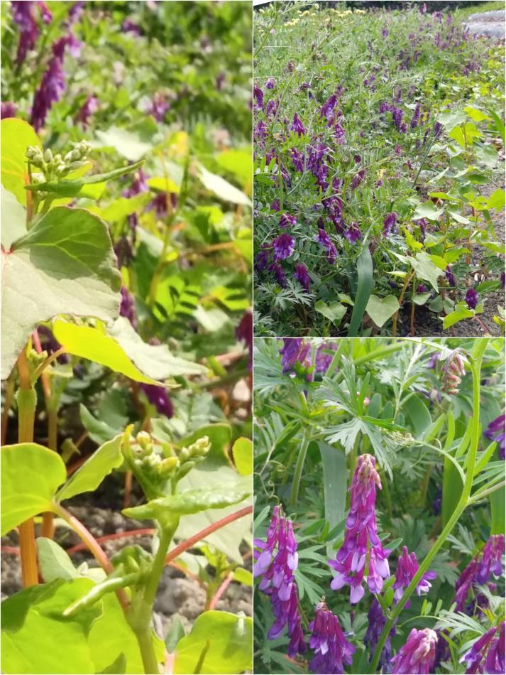 ヘアリーベッチとソバの花